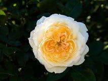 Gelb-weiß stieg in den Garten Stockfotografie
