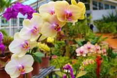 Gelb-weiße Orchidee Stockfotografie