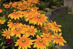 Gelb zentrierte schwarze gemusterte Susan Flowers Blooming stockfotografie