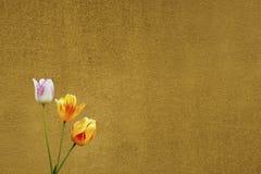 Gelb zwei eine und eine weiße Tulpe Stockbilder
