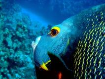 Gelbauge Anglefish w Stockfotos