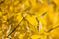 Gelbblätter auf dem Baum im Herbst Stockfotografie