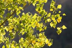 Gelbblätter auf dem Baum im Herbst Lizenzfreie Stockfotografie