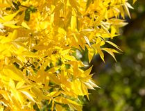 Gelbblätter auf dem Baum im Herbst Stockbild