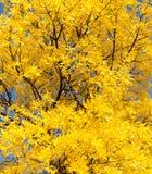 Gelbblätter auf dem Baum im Herbst Lizenzfreies Stockbild