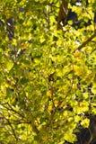 Gelbblätter auf dem Baum im Herbst Stockfoto