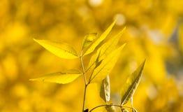 Gelbblätter auf dem Baum im Herbst Lizenzfreies Stockfoto