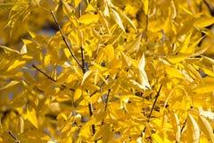 Gelbblätter auf dem Baum im Herbst Lizenzfreie Stockbilder