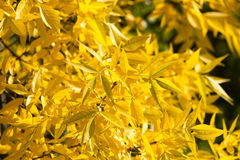 Gelbblätter auf dem Baum im Herbst Stockfotos