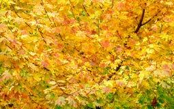 Gelbblätter auf einem Ahornbaum Stockfotografie