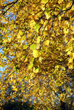 Gelbblätter auf Niederlassungen im Herbst Stockbilder