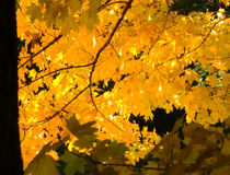 Gelbblätter in der Herbstsaison Stockfoto