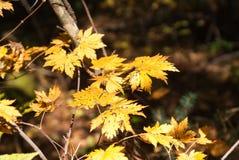 Gelbblätter im Herbstwald Stockfoto