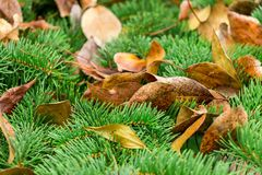Gelbblätter von Bäumen liegen auf grünen stacheligen Niederlassungen von Koniferenbäumen Lizenzfreies Stockfoto