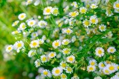 Gelbblütenstaub der weißen Blume des Gänseblümchens Lizenzfreies Stockbild
