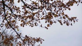 Gelbblattrascheln Sun- und Gelbblätter Heller gelber Herbstlaub des Ahorns auf dem Hintergrund des Himmels Stockbild