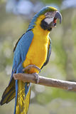 Gelbbrustara macaw on perch Royalty Free Stock Images