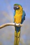 Gelbbrustara macaw on perch Stock Photography