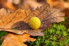 Gelbe Abschürfung auf trockenem Eichenblatt Stockfotos