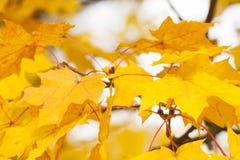Gelbe Acer-Blätter im Herbst Stockbild
