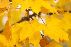 Gelbe Acer-Blätter im Herbst Lizenzfreie Stockfotos