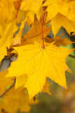 Gelbe Acer-Blätter im Herbst Lizenzfreies Stockbild