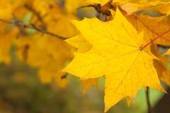 Gelbe Acer-Blätter im Herbst Stockfoto