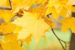 Gelbe Acer-Blätter im Herbst Stockfotos