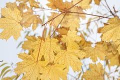 Gelbe Acer-Blätter im Herbst Lizenzfreies Stockfoto