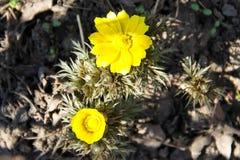 Gelbe Adonis-Blume im Garten Lizenzfreie Stockbilder