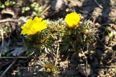 Gelbe Adonis-Blume im Garten Stockfotos
