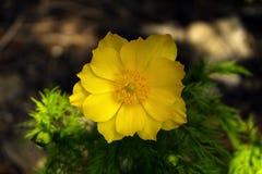Gelbe Adonis-Blumennahaufnahme Stockbilder