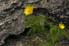Gelbe Adonis-Blumennahaufnahme Stockbild