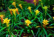 Gelbe aechmea fasciata Blumenart von lokalen Brasilien-Anlagen Stockbild