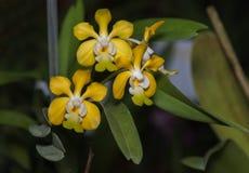 Gelbe Aerides-Orchideenblume auf Natur Lizenzfreie Stockbilder