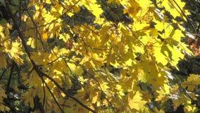 Gelbe Ahornblätter stock video