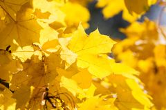 Gelbe Ahornblätter Lizenzfreies Stockbild
