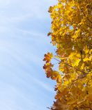 Gelbe Ahornblätter Stockfotos