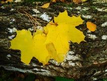 Gelbe Ahornblätter Stockfoto