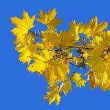 Gelbe Ahornblätter auf dem Hintergrund des blauen Himmels Stockfotos