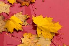 Gelbe Ahornblätter auf einem roten Hintergrund Stockfoto