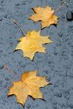 Gelbe Ahornblätter auf einem schwarzen Hintergrund Stockfotografie