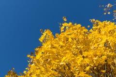 Gelbe Ahornblätter auf Hintergrund des blauen Himmels Lizenzfreies Stockfoto
