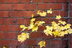 Gelbe Ahornblätter des Herbstes über Backsteinmauerhintergrund Lizenzfreie Stockfotografie