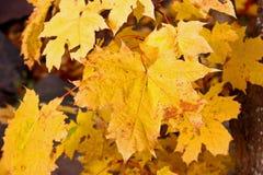 Gelbe Ahornblätter des Herbstes Stockfotografie