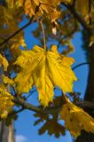 Gelbe Ahornblätter, die an den Niederlassungen eines Baums hängen Stockbild