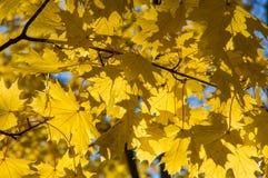 Gelbe Ahornblätter, die an den Niederlassungen eines Baums hängen Stockbilder