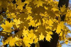 Gelbe Ahornblätter, die an den Niederlassungen eines Baums hängen Stockfotos