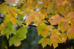 Gelbe Ahornblätter, die Rot drehen Stockfotografie