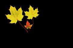 Gelbe Ahornblätter am dunklen Hintergrund Stockbild